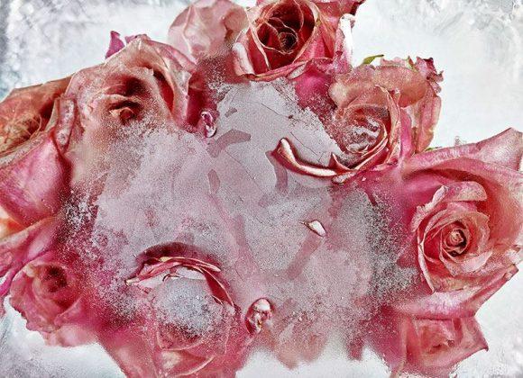 Incríveis Flores Congeladas, por Kenji Shibata