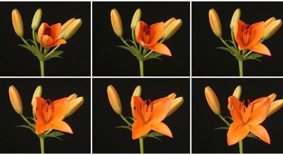 Flores Desabrochando em Timelapse
