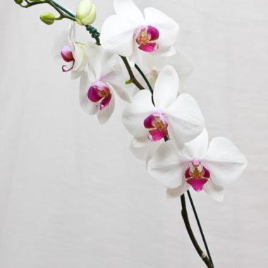 Orquídea Phalaenopsis - Floricultura em Brasília